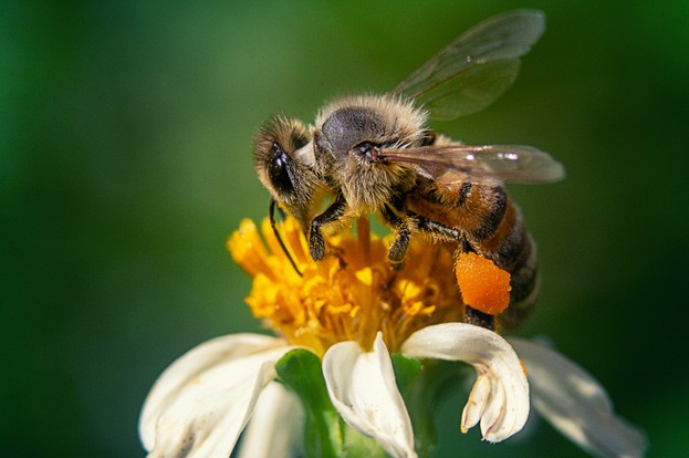 The bee: emblem of Fontanille Scop